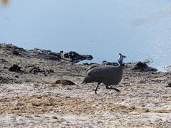 P1160050 Chobe National Park Botswana (53) (archaeologist_d) Tags: chobenationalpark botswana guineafowl africa southernafrica safari