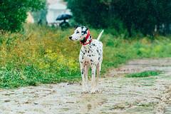 Rainy walk (Leo Hidalgo (@yompyz)) Tags: yompyz explore travel málaga mijas costa dálmata dalmatian dog animal perro portrait retrato