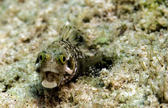 Medusa Blenny_Bari Reef_Bonaire_June 2017 (R13X) Tags: bonaire underwaterphotography underwatermacrophotography scubadiving diving denlaman dutchcaribbean dutchislands shorediving nikon nikon105mm nikon60mm d7200 medusa medusablenny blenny barireef somethingspecial saltpier torisreef