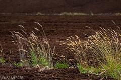 Bog Studies 1. (Velmerc) Tags: bogscapes grass green brown turf peat ireland bog inland outdoors