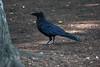 A42P0315lr (yoshitoshi ABe) Tags: 20170706 吉祥寺 井の頭公園 canon eos1dmarkiii ef70300mmf456isusm bird カラス