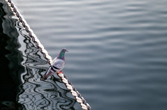 pigeon rope (sedge808) Tags: pigeon rope water sedge808 portadelaide portriver bird