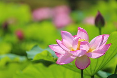 Lotus (Teruhide Tomori) Tags: japon japan kyoto nature summer flower lotus 夏 京都 花 ハス 日本 東寺 教王護国寺 toji pond