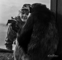 Making Friends (Karen Miller Photography) Tags: edinburghzoo zoo captivity edinburgh captive ape chimp chimpanzee monochrome animal nikon rzss scotland enclosures karenmillerphotography