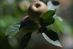 Apple(Bramley) shallow DOF  (85mm f1.2) (JW Asturias) Tags: apple bokey dof shallow bramley canon fd 85mm 12l ssc