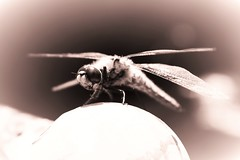 Ready to take off (Nathalie_Désirée) Tags: dragonfly animal insect fauna nature monochrome greyscale bichrome takeoff fly eye macro closeup outside metal wings air free sepia retro