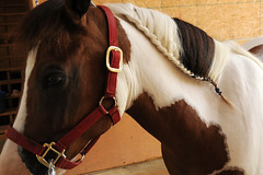 Spirit (Montgomery Area Nontraditional Equestrians (MANE)) Tags: al mane pikeroad