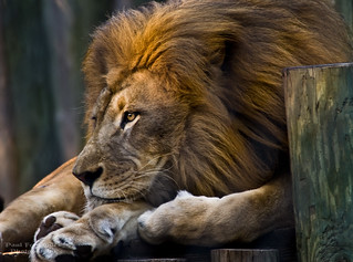 Lion Ponders the Meaning of Life