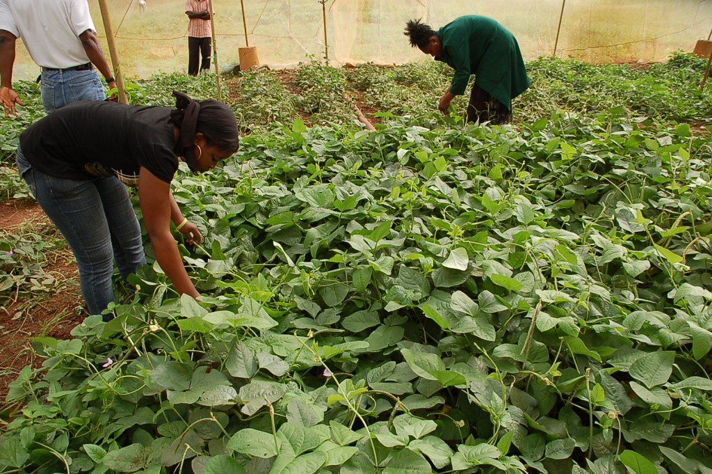 Technicians observing cowpea plants for pests and diseases in the screenhouse