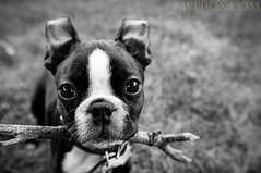 You know you wanna play! (weir2x) Tags: portrait bw dog pet animals bostonterrier melrose nibbler 1755mmf28nikkor weir2x