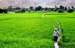 Rice Farmer (P A H L A V A N) Tags: photo rice iran gaz iranian farmer pars  sina khorasan  irani farsi  fars parsi daregaz  razavi dareh  kazem markazi  dargaz   pahlavan    darehgaz darhgaz