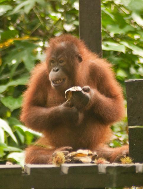 Sepilok Orangutan Rehabilitation Center, Sabah, Malaysia