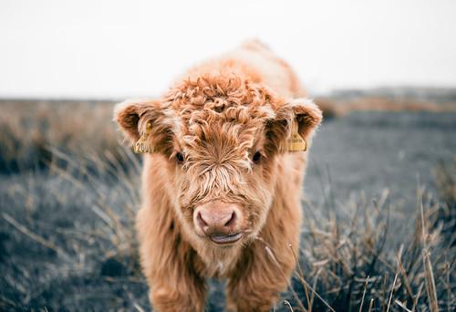 [フリー画像] 動物, 哺乳類, ウシ科, 牛・ウシ, 201102141100