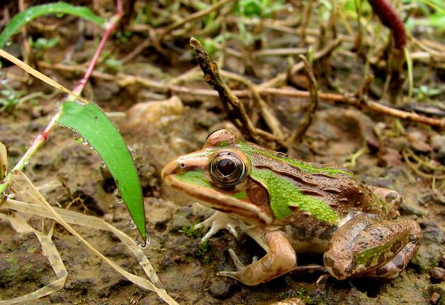 The frog - Tigrina