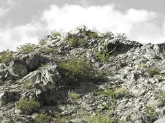 Hill sprouting Green (Oneida Val) Tags: texas elpaso geology utep getrdun cresote octoillo