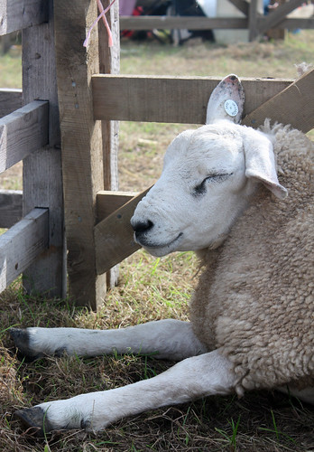 Sleeping sheep 2