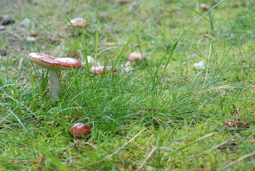 pilvikud aias/mushrooms (russula) in the garden