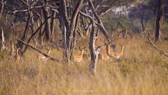 Impala (Rossell' Art) Tags: africa nature wildlife botswana impala gazelle antilope herbivore afrique sauvage ruminant wildnature viesauvage afriqueaustrale naturesauvage