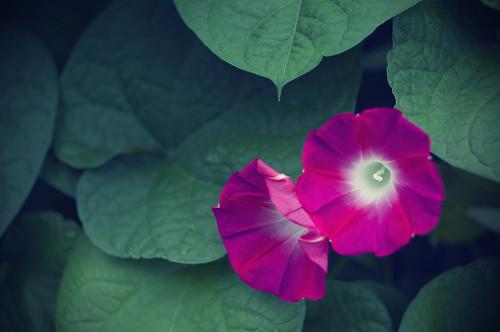 [フリー画像] 花・植物, ヒルガオ科, アサガオ, ピンク色の花, 201009110700