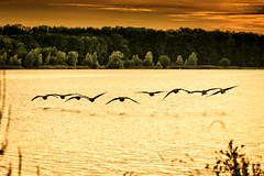 Wildlife (Marc Benslahdine) Tags: wood trees sunset wild sun lake gold soleil geese wildlife explorer lac goose landing explore fort lightroom balade etang oie envol oies explored atterissage goldsunset canonef70200mmf4lusm vairessurmarne canoneos50d marcopix basedeloisirs amerissage tripax marcbenslahdine wwwmarcopixcom wwwfacebookcommarcopix marcopixcom