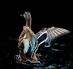 Show off (Steve-h) Tags: park blue ireland dublin orange brown white nature water duck wings pond europa europe wildlife feathers eu mallard steveh canoneos5dmarkii mygearandmepremium mygearandmebronze mygearandmesilver mygearandmegold mygearandmeplatinum mygearandmediamond canonef70200mmf28lisiiusm lightroom32 rememberthatmomentlevel4 rememberthatmomentlevel1 rememberthatmomentlevel2 rememberthatmomentlevel3