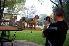 Simian Models (gurbir singh brar) Tags: africa modeling posing tourist monkeys victoriafalls photoop zambia 2010 livingstone vervetmonkeys royallivingstone thebestofday gnneniyisi gurbirsinghbrar