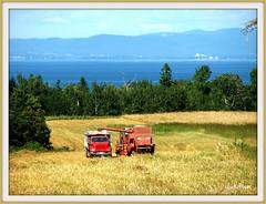 New Brunswick Farming (clickclique) Tags: trees mountains barley bay cattle farming grain straw newbrunswick feed dairy goldstar jacquetriver travelpilgrems
