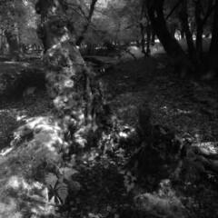 Mossy stump (Skink74) Tags: uk england blackandwhite bw fern tree 120 6x6 film forest ir mono moss stream hampshire bronica stump infrared rodinal newforest efke r72 s2a highlandwater zenzabronicas2a ir820 nikkoroc50mm128 nikkoroc50f28 filmdev:recipe=5952 s2am024