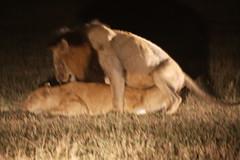 IMG_3966 (PrettyGreetingCards) Tags: southafrica lions mating bigfive wildanimals malelion femalelion