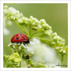 Uurlu (alemdag) Tags: macro green nature turkey nikon trkiye turkiye ladybug makro tamron 90mm mehmet bayram yeil d300 fotoraf krmz doa renkler alemda alemdag bayburt nikond300 mehmetalemda