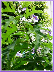 Solanum macranthum (Brazilian Potato Tree, Giant Potato Tree): focus on its large and deeply lobed foliage