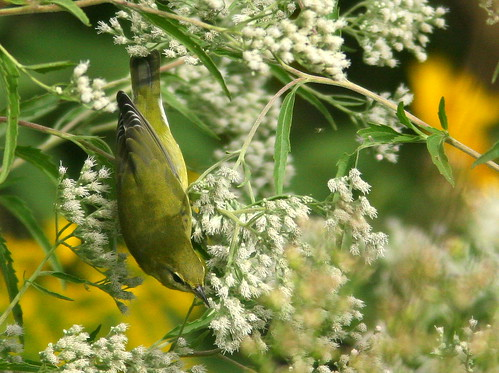 Tennessee Warbler 20100909