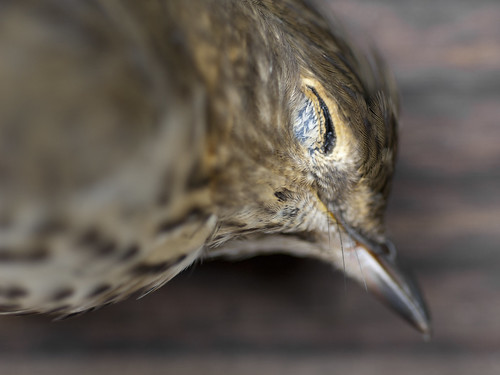 September Swainson's Thrush IV