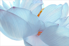 Macro / Flower / Blue flower / color / Lotus Flower Petals / Lotus Flower Macro / macro / blue / flower / - Nelumbo Nucifera - IMG_9592 -  , , ,  , Fleur de Lotus, Lotosblume, ,  (Bahman Farzad) Tags: flowers blue summer flower macro nature yoga closeup colorful lotus blueflower    lotusflower  lotusleaf nelumbo nelumbonucifera lotuspetal nucifera  lotuspetals  lotosblume fleurdelotus   lotusflowerleaf   lotusflowerpetals lotusflowerpetal