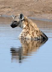 Spotted Hyena 2, Etosha