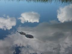 Florida - Alligator Alley (ashabot) Tags: florida everglades alligators alligatoralley