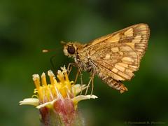 Lesser Dart Skipper Butterfly (Rundstedt B. Rovillos) Tags: macro butterfly insect reverselens macrophotography skipperbutterfly nikond200 nikkor1855mm reverselensadapter nikonsb400 diyflashdiffuser lesserdart potanthusomahaomaha rundstedtbrovillos kentuckyfriedchickenplasticbucketlid diykfcflashdiffuser onehandmacroshootmethod kfcdiffuser kuyaerwinsgarden