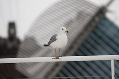 Gull, Quadracci Pavilion