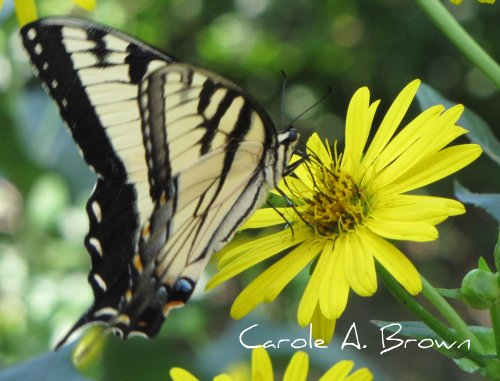 Eastern Tiger Swallowtail profile
