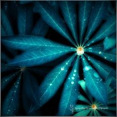 Leaves (Samantha Nicol Art Photography) Tags: blue plant macro art water leaves rain square droplets nikon samantha toned nicol