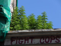 ganja plants on a roof... (wojofoto) Tags: amsterdam weed drugs illegal drug homegrown spuistraat marihuana ganja stadsarchief wiet nederwiet wojofoto fightcops