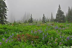 Paradise Lupine (Coop Photography) Tags: park trees flower fog clouds photography washington inn nikon paradise mt purple 21 august falls trail national rainier wa myrtle coop wildflowers wildflower 2010 lupines d90