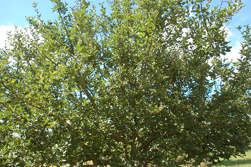 "Healthy Unsprayed Apple Tree <a style=""margin-left:10px; font-size:0.8em;"" href=""http://www.flickr.com/photos/91915217@N00/4994641163/"" target=""_blank"">@flickr</a>"