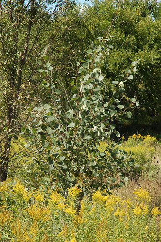 "Quaking Aspen <a style=""margin-left:10px; font-size:0.8em;"" href=""http://www.flickr.com/photos/91915217@N00/4994645939/"" target=""_blank"">@flickr</a>"