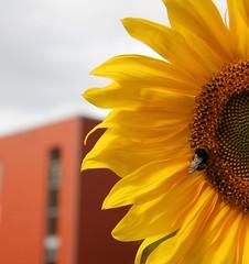 die sonnenschein schule (Fotoristin - blick.kontakt) Tags: orange detail architecture geometry gelb architektur insekt fassade hummel sonnenblume ausschnitt geometrie