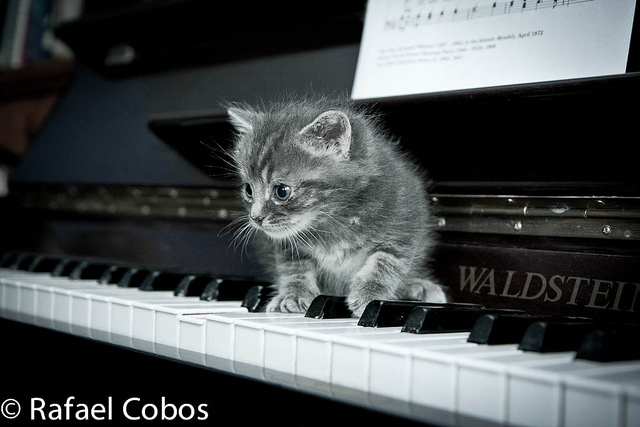 cute rescued grey kitten on piano