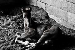 Foal (bivoir) Tags: horses horse foal
