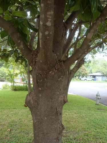 magnolia_cicadas