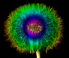 Rainbow Dandelion (Feggy Art) Tags: blue red orange plant green art leaves yellow photoshop canon botanical eos rebel photo rainbow stem weed kiss ray purple violet indigo dandelion seeds plantae botany scape asteraceae xsi taraxacum cs4 x2 florets pappus cichorieae asterales achene angiosperms eudicots achenes 450d asterids feggy victius