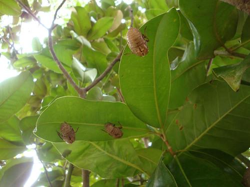 cicadas_underleaves